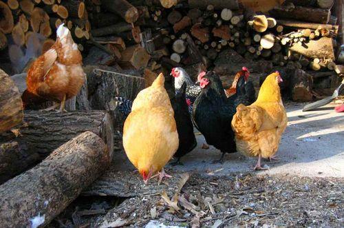 Chickck
