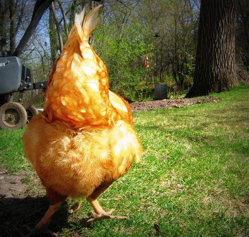 Chickb