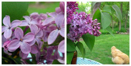 Lilac516